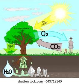 im�genes, fotos de stock y vectores sobre photosynthesis tree Tree Anatomy Diagram