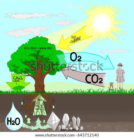 Photosynthesis Diagram Stock Vector Royalty Free 643712140