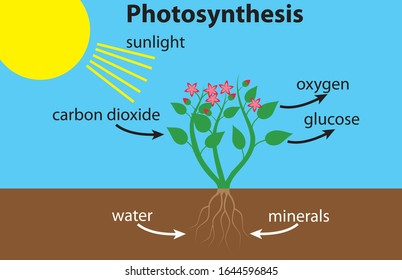 Photosynthesis diagram with a nice red flower