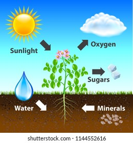 Photosynthesis diagram vector background photo realistic illustration