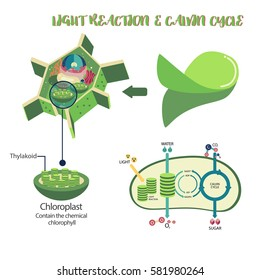 Royalty Free Photosynthesis Diagram Stock Images Photos Vectors