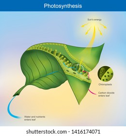 Photosynthesis is a process by plants and other organisms use to convert light energy into chemical energy.