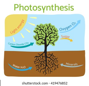 Photosynthesis process diagram. Schematic vector illustration.