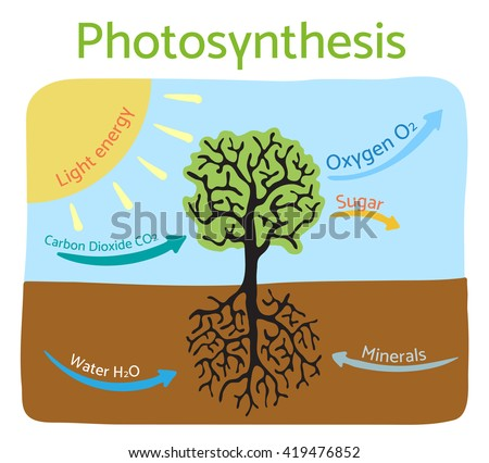 Photosynthesis Process Diagram Schematic Vector Illustration Stock