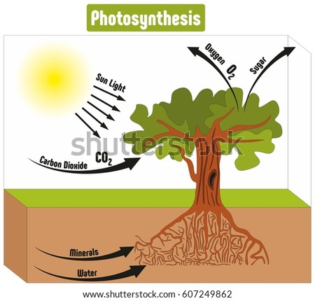 Tree Photosynthesis Diagram Science Not Lossing Wiring Diagram