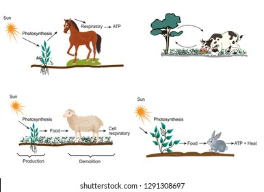 Photosynthesis and respiration in some organisms