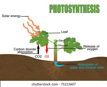 Photosynthesis, vector illustration (Helpful for Education & Schools)