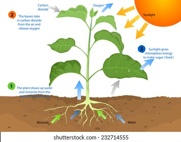 Photosynthesis,This is the process by which most plants make food using sunlight,nature vector background