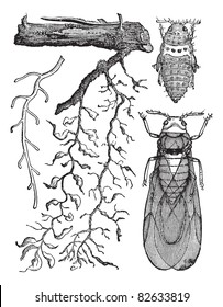 Phylloxera Radicicola: a, healthy root. b, root aphids swelling caused by their bites. c. abandoned by root aphids. d. big root aphids (natural size) e. pupa female f. female wing  Trousset 1886-1891