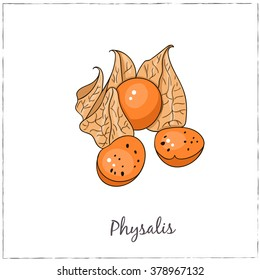 Physalis. Collection of berries.  Vector illustration of berries for design menus, recipes and packages product.