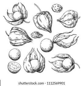 Physalis fruit vector drawing. Golden berry sketch. Vintage engraved illustration of superfood. Hand drawn icon for label,  poster, packaging design.
