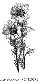 A picture of Adonis Vernalis and also known as spring adonis. There flowers are bloom in early spring, vintage line drawing or engraving illustration.