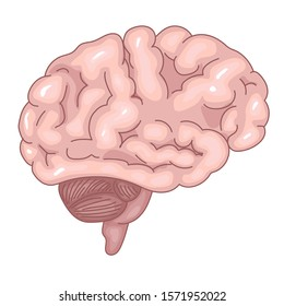 Picture of a brain on a white background. Realistic image. The structure of on the Central nervous system. Vector illustration for a medical Handbook. Human internal organs.