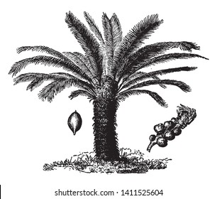 A picture of a Chinese Sago palm. Sago palm is a common name for several plants that are used to produce a starchy food known as Sago, vintage line drawing or engraving illustration.
