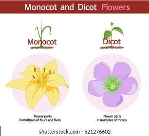 a picture comparing monocot and dicot flowers
