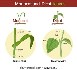 A picture comparing monocot and dicot leaves.