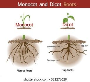 A picture comparing monocot and dicot roots.