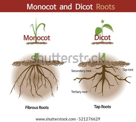 Picture Comparing Monocot Dicot Roots Stock-Vektorgrafik (Lizenzfrei ...