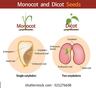 A picture comparing monocot and dicot seeds.