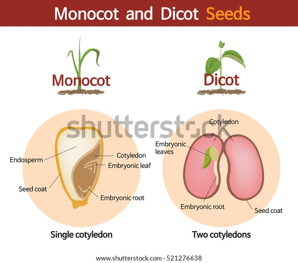 Picture Comparing Monocot Dicot Seeds Stock Vector Royalty