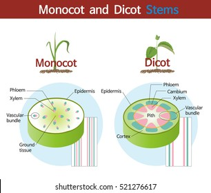 A picture comparing monocot and dicot stems.