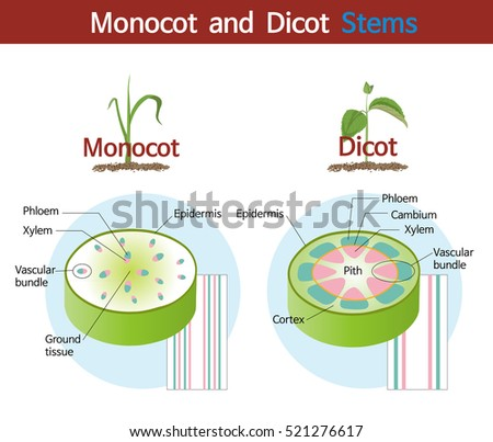 Picture Comparing Monocot Dicot Stems Stock Vector Royalty Free