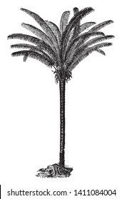 A picture of a Coquila palm which is mostly found in South America. Its fibrous make up is used in industry and it also produces Te Coquilla Nut, vintage line drawing or engraving illustration.