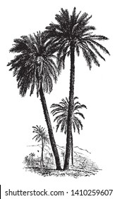 A picture of Date palm which has been cultivated for a very long time because of its fruit. It has long leaves which looks like feathers, vintage line drawing or engraving illustration.