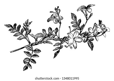 The picture is of a flowering spray of Jasminum Grandiflorum, flowers are reddish underneath & white and bloom in starting of summer to the beginning of winter, vintage