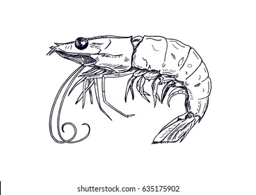 Picture of live shrimp. Hand-drawn, drawing, line sketch.