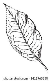Picture of Mountain Holly Leaf. Its deciduous leaves are larger than the other hollies, but this has less toothed leaves, which are rounded at the tip instead of long-tapered, and smaller fruits