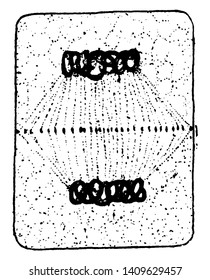 The picture of plant cell division, the Chromosomes attach to Centro holes a rounded, cytoplasm divided into two part, vintage line drawing or engraving illustration.