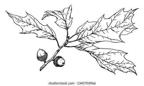 Picture of Quercus Heterophylla branch. Quercus Heterophylla have spirally arranged leaves, with Lobate margins in many species; some have serrated leaves or entire leaf with smooth margins, vintage