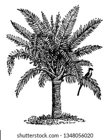 A picture of Sago palm tree. Sago palm is a common name for several plants that are used to produce a starchy food known as sago. The palm has many dark green leaves on a hair trunk, vintage
