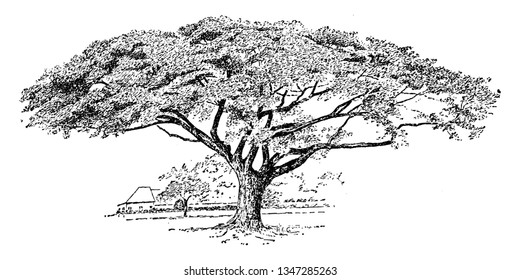 "Picture of Samanea Saman tree. It is a species of flowering tree in the pea family. The leaves fold in rainy weather and in the evening, hence the name ""rain tree"" and ""five o'clock tree, vintage"