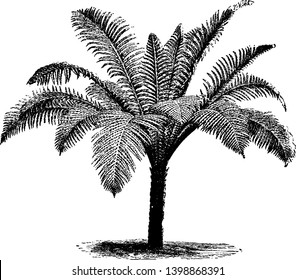 A picture showing Blechnum Braziliense. It is a fern native to Brazil. This fronds are oval shaped and have gradually narrowed down, vintage line drawing or engraving illustration.