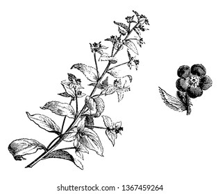 A picture is showing a branch and flower of Anchusa Sempervirens plant. The flowers of anchusa sempervirens are of an intense blue and grow in short ears in the leafy base, vintage line drawing