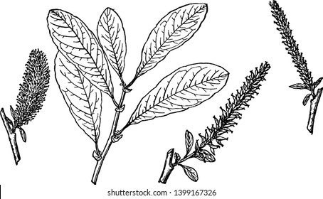 A picture showing the Branch of Sitka Willow which is also known as Salix sitchensis. It is native to northwestern North America, vintage line drawing or engraving illustration.