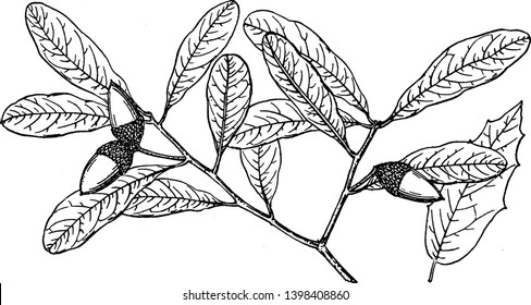 A picture showing the Branch of Southern Live Oak which is also known as Quercus virginiana and is native throughout the South-eastern United States, vintage line drawing or engraving illustration.