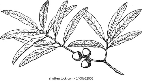 A picture showing branch of Willow Oak also known as Quercus Phellos which is native to eastern North America, vintage line drawing or engraving illustration.