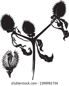A picture is showing Datura Stramonium. This is a pod of datura stramonium. Jamestown weed or thorn apple is common name for this plant, vintage line drawing or engraving illustration.