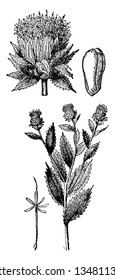 A picture showing different parts of Safflower which is a tall branched flower consists of long spiny leaves. Usually bright yellow, orange or red color, vintage