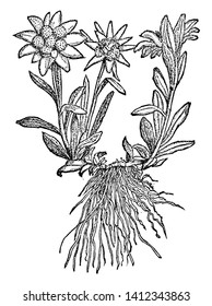 A picture is showing Edelweiss, also known as Leontopodium Alpinum. This is a well-known mountain flower, belonging to the Asteraceae or Sunflower family, vintage line drawing or engraving