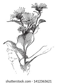 A picture is showing Elecampane, also known as Horse-Heal. This is a species of extended plant in the Sunflower family Asteraceae. It is native to Europe and Asia, vintage line drawing or engraving