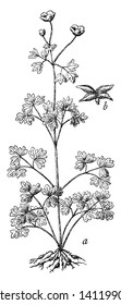 A picture is showing False Rue Anemone, It also known as Enemion Biternatum. This is a plant and fruit of the False Rue Anemone. It belongs to Ranunculaceae family of Buttercups, vintage line drawing