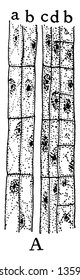 A picture showing the first stage of development of the sieve tubes, the accompanying cells and the phloem parenchyma, vintage line drawing or engraving illustration.