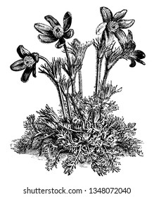 A picture is showing a flower of Anemone Pulsatilla also known as Pasque Flower. The flowers of Anemone Pulsatilla are mostly violet and have a silky texture, vintage