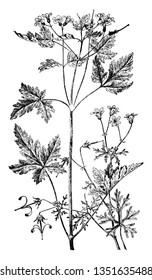 A picture is showing Geranium Bicknelli and Herb Robert. It belongs to Geraniaceae family. Illustrated are: Left is Geranium Robertianum and right is Geranium Bicknelli, vintage