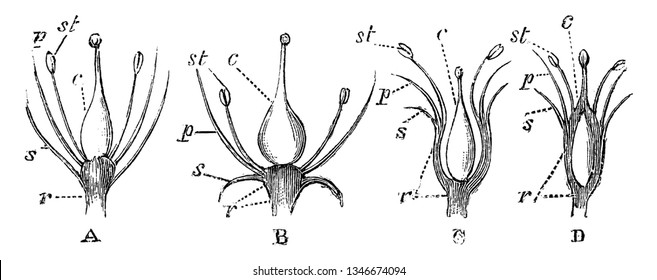 A picture showing Longitudinal Sections of Flowers. This diagrams are shown to illustrate modifications of the receptacle in longitudinal sections of flowers, vintage