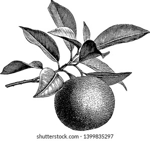 A picture showing the orange tree. Tree branch have many leaves and orange fruit, vintage line drawing or engraving illustration.